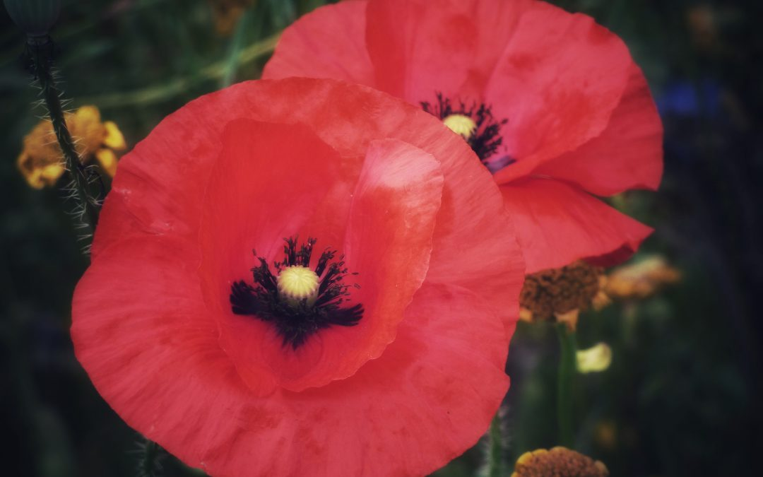 War Widows NSW eNewsletter – Remembrance Day edition